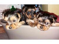 3 baby yorkie girls