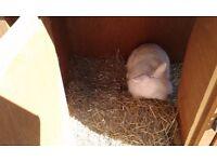 Lionhead rabbit and hutch
