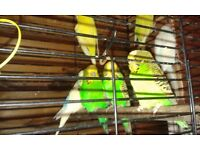 Mixed Budgies for sale