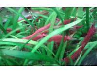 London Red cherry shrimp Ladbroke Grove/Kensal Green/Rise