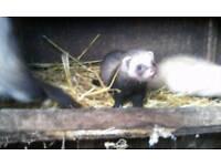 Jack and jills ferrets
