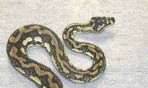 Adult Female Jungle Pythons Direk Salisbury Area Preview