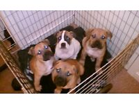 Spanish mastiff cross pups
