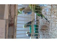 30 budgies for sale