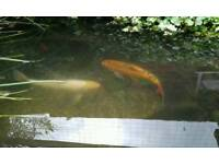 Koi carp and Golden orfe for sale