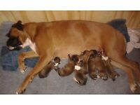 beautiful pedigree boxer puppies