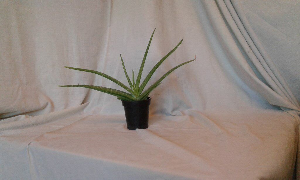 Indoor Plants for sale | in Wisbech, Cambridgeshire | Gumtree on peppermint tree plant, cycad plant, reed plant, foxfire plant, gazania plant, no light indoor plant, lotus plant, google plant, hickory plant, garland plant, amazon plant, miracle fruit plant, king plant, arcadia plant, violet flower plant, eagle plant, yucca plant, ebay plant, mulberry plant, fig plant,