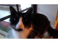 Lovely black and white female cat needs new home