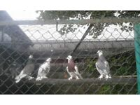 Fancy Pigeons: West of England Flying Tumblers