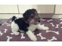Wirehaired Fox Terrier Puppies