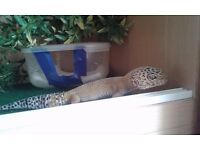 Leopard gecko and complete set up