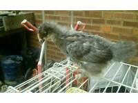 Marans chicks