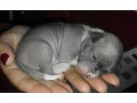 Chi-chi puppies chinise crested/ chuhushua