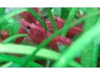 Krewetki Red Cherry Shrimps Kensal Green/Rise/Ladbroke Grove