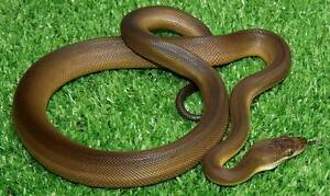Water Python Hatchlings & Yearlings Howard Springs Litchfield Area Preview