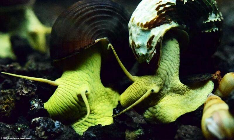 Yellow Rabbit Snail Babies (2)...So CUTE!
