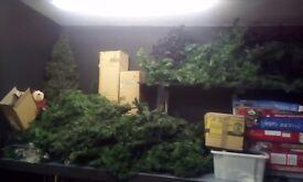 Job lot of Christmas trees