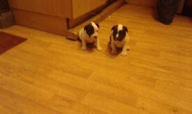 Staffordshire bull terrier puppies both girls