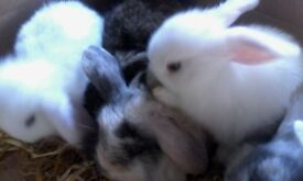 Baby Rabbits ready for new homes from 28th November Exeter £25