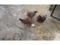 Chickens and Quails for Sale