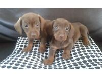 gorgeous daschund pups sausage dogs chocolate wire coat and smooth