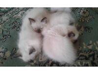 Three pedigree Ragdoll kittens for sale