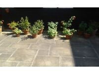 Selection of fuchsias in clay pots