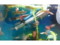 Guppies Tropical Fish