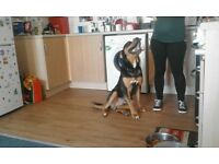 Rottweiler for sale 11months old