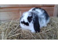 Beautiful mini lop baby rabbits