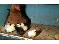 Bantam Hen with 8 PB Silkie chicks