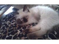 Ragdoll kittens, pedigree registered