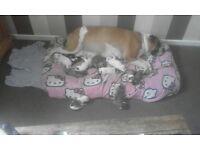 Bullmastiff cross American bulldog puppies for sale