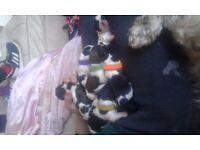Beautiful shih tzu puppies