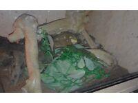 Albino x ball python