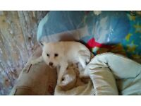 Maltese cross male 11 months old for sale