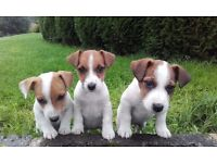 *Gorgeous Jack Russell Puppies For Sale*