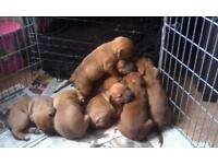 1 male staffy pup for sale