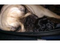 KC French Bulldog puppies 4 girls 1 boy