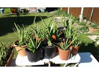 ALOE VERA PLANTS. GOING FAST!!! Your own Pharmacy in one fabulous plant. £5 to £15. NO TEXTS PLEASE