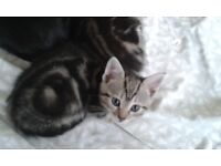 Two Beautiful Tabby cats for sale. Litter trained and wormed