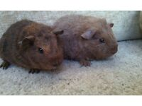 Female Rex Guinea Pigs for Sale