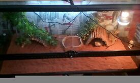 2 bearded dragons £120
