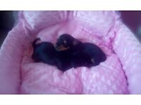 Miniature Yorkshire terrier X puppies