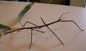 for sale various stick insects...