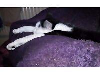 PLAYFUL B&W TALKATIVE MALE CAT