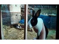 Baby female dutch rabbits