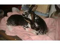 Baby rabbits (rex)