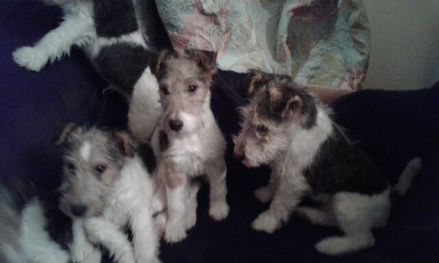 Fox Terrier Pups For Sale Wire Haired Puppies In Dromara County