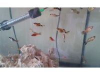 20 For £15 Mixed Platys For Sale
